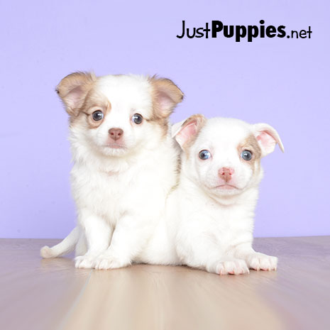 Puppies For Sale Orlando Fl Available Puppies
