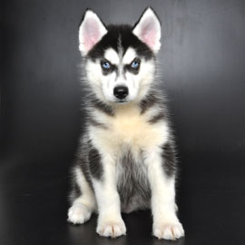 Free Vet Vist Justpuppiesnet Is Orlando Puppies