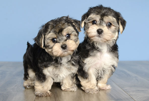 S In Orlando Just Puppies Fl Dog Breeders Yorkie Morkie Labrador Puppy