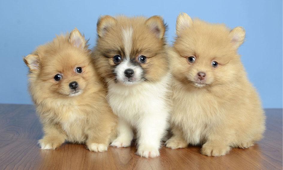 Boxer Dog For Sale Orlando