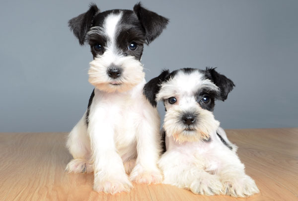 Jack Russell Shih Tzu Schnauzer Mix Puppies
