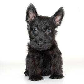 Schnauzer And Scottish Terrier Sheltie