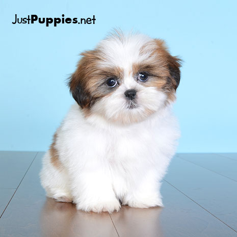 Puppies For Sale Orlando Fl Justpuppies Net