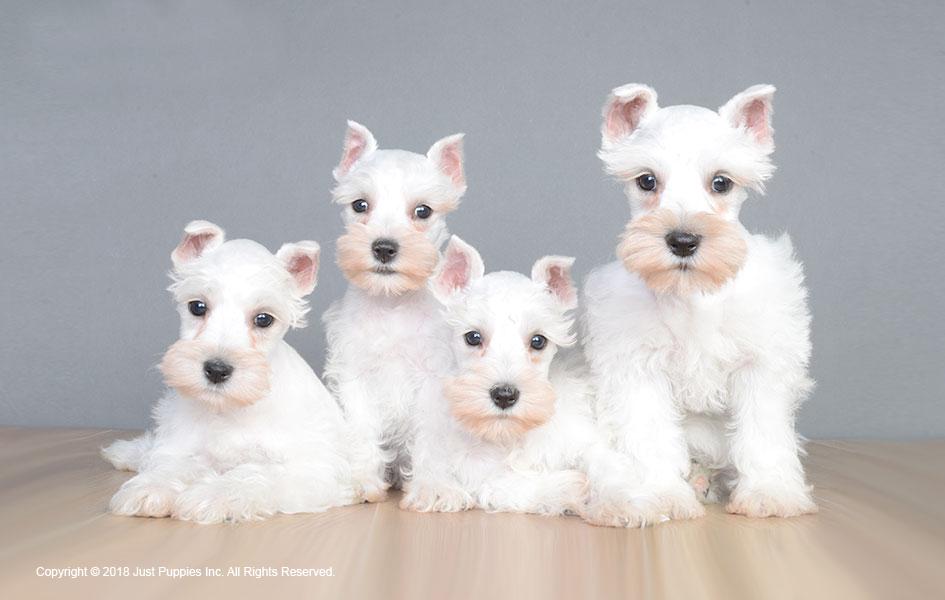 Justpuppiesnet Home To Better Puppies